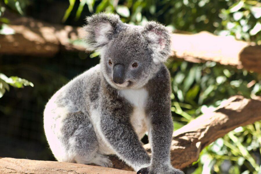 a grey koala in a tree